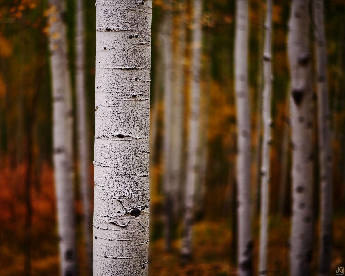 Colorado, aspen forest, autumn, photo
