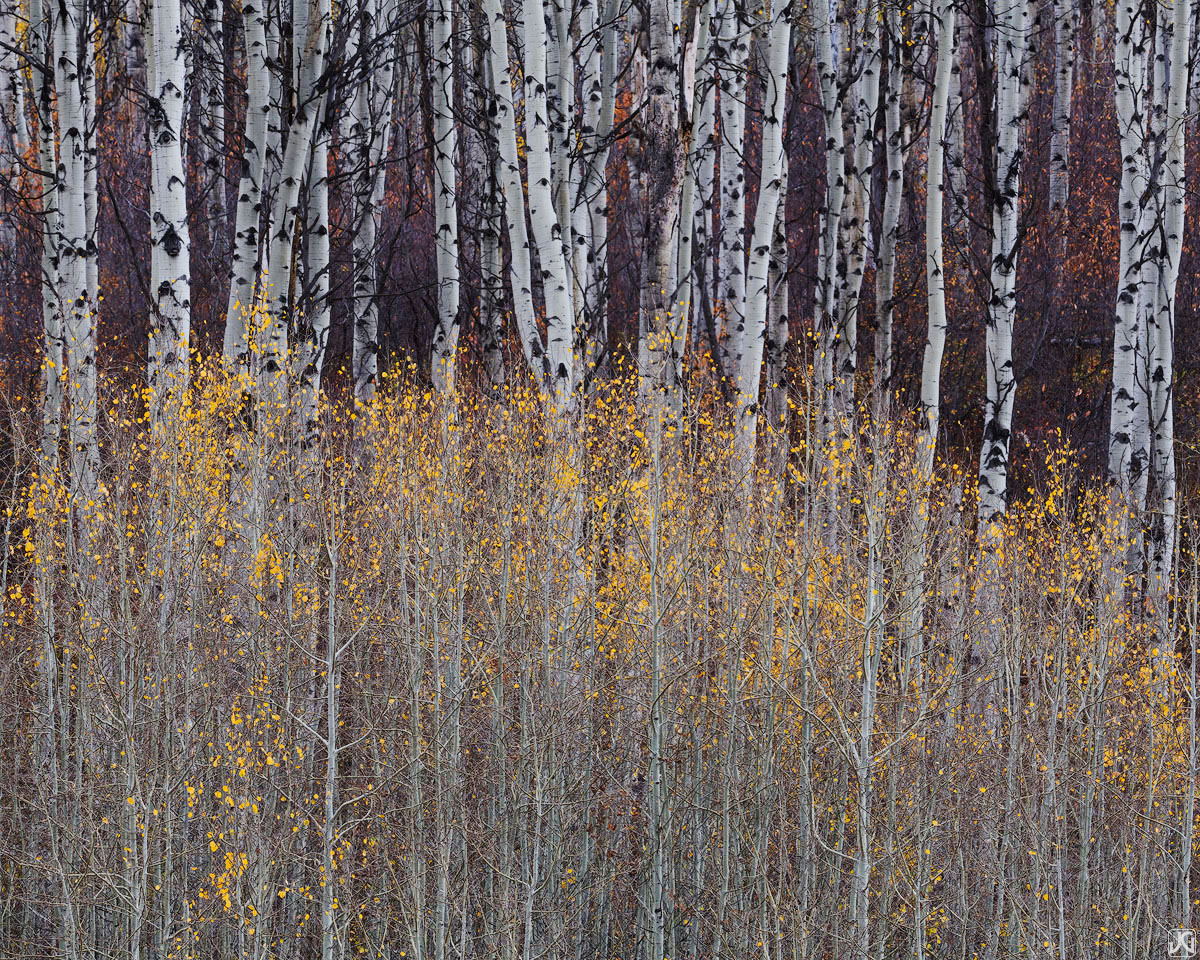 Younger aspen trees display their autumn colors against the backdrop of older trees.