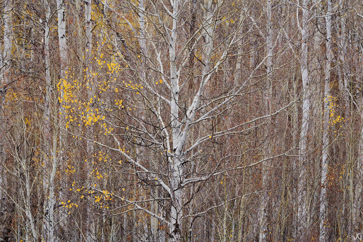 The last remaining branches holding autumn aspen leaves stand out amongst the bare trees.