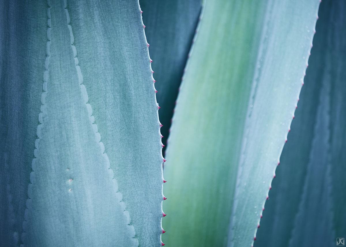 California, Berkeley, agave, botanical, garden, pastel, photo