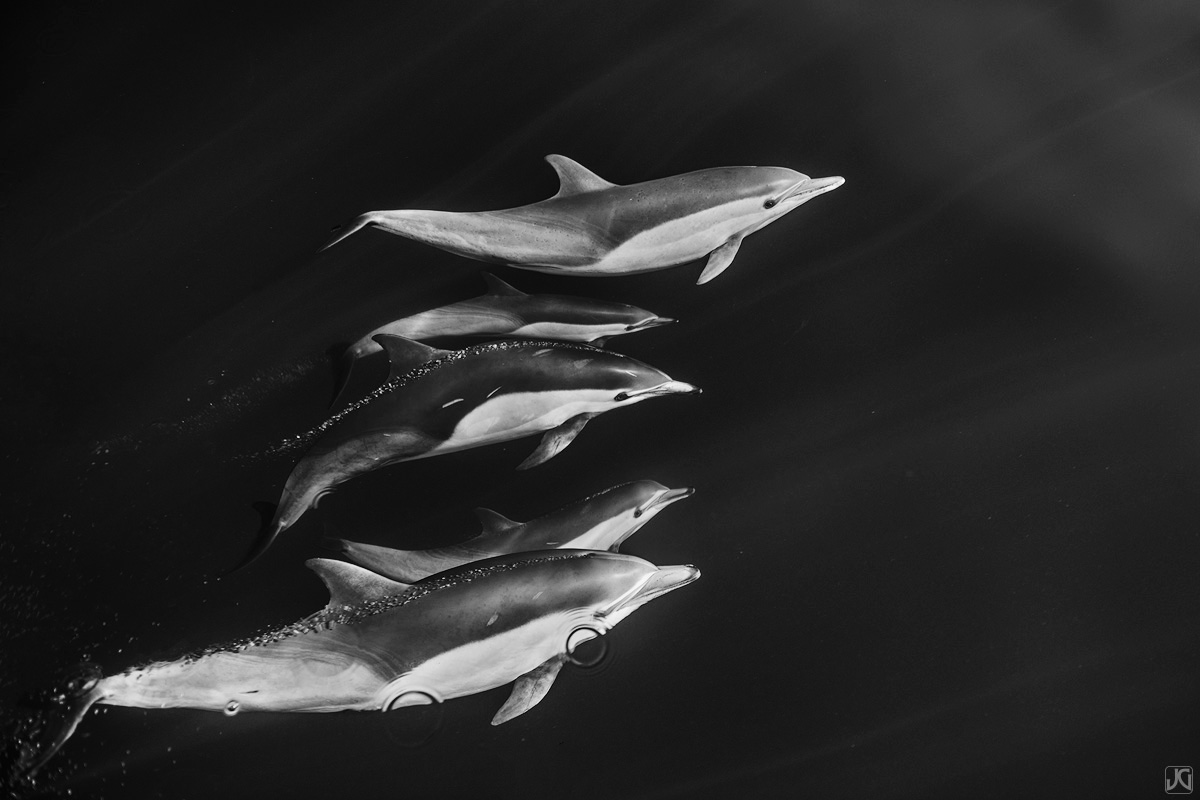 Perfectly spaced, this pod of dolphins slices through the open ocean together.