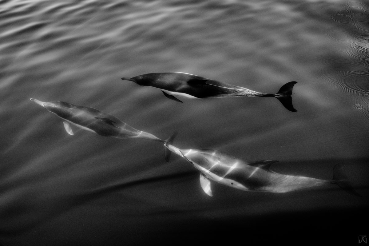 Sunshine filters through the ocean water, creating light beams as members of a small pod of dolphins fly through.