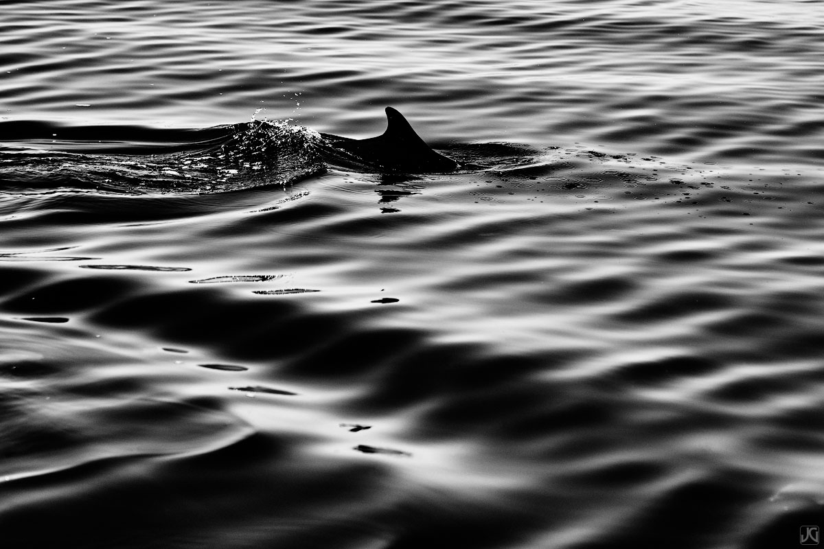 The dorsal fin of a dolphin slices through the ocean without a sound.