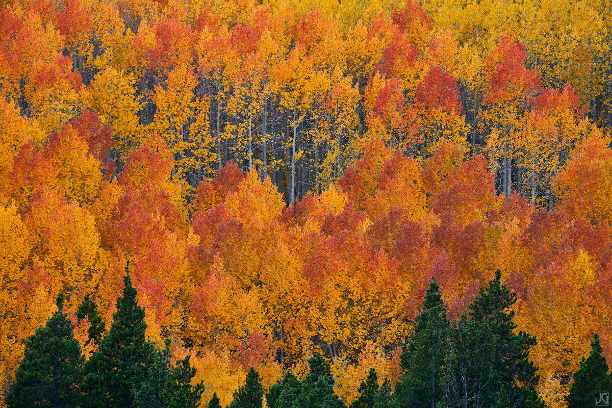 As autumn nears peak, aspen leaves change their colors and rise to the front of the visual spectrum.