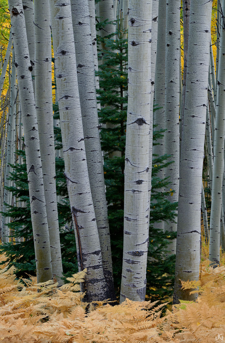 Colorado, aspen, fir, trees, forest, ferns, autumn, photo