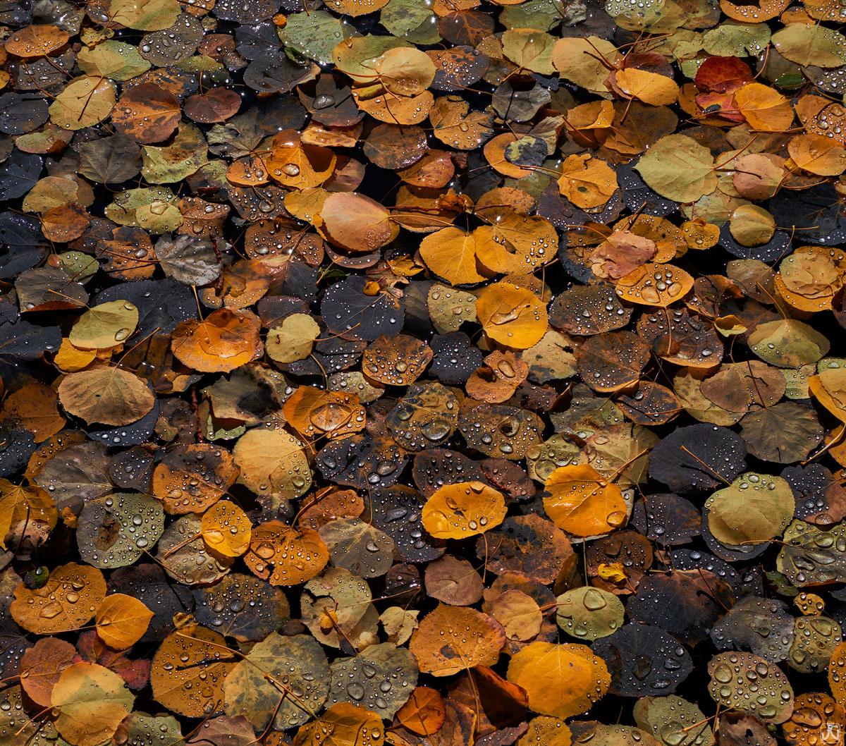 Colorado, fall, autumn, aspen, snow, storm, leaves, forest, photo