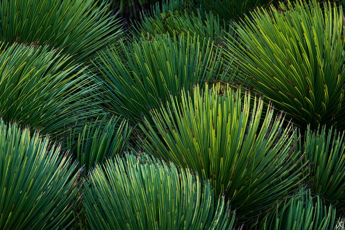 California, Berkeley, agave, hedgehog, garden, botanical, photo