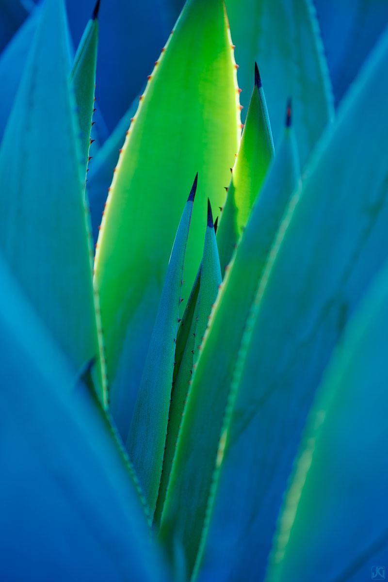 California, agave, botanical, garden, Berkeley, photo