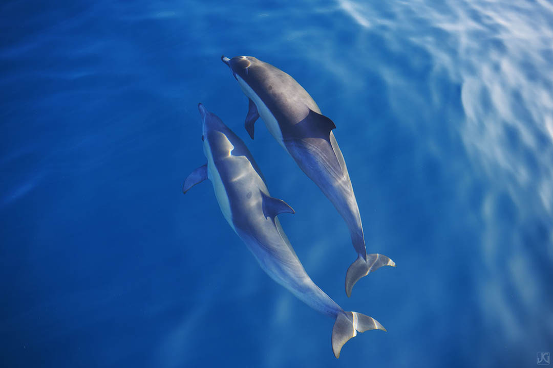 Two dolphins seem to float above the ocean on a calm day out at sea.