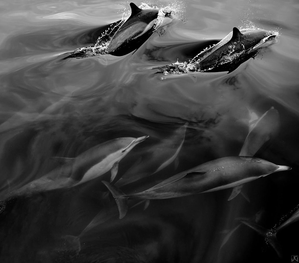 Dolphins from a large pod swim along together beneath two surfacing members.